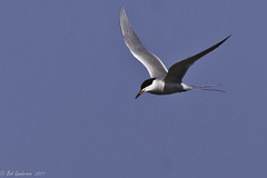 Forster's Tern (Bob Gunderson) Tags: california nature birds northerncalifornia southbay terns forsterstern sternaforsteri shorelinelake aerialwaterbirds