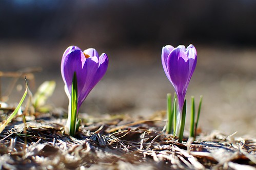 Crocuses by dcclark