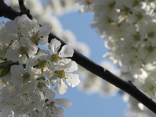 Ciliegio in fiore 12