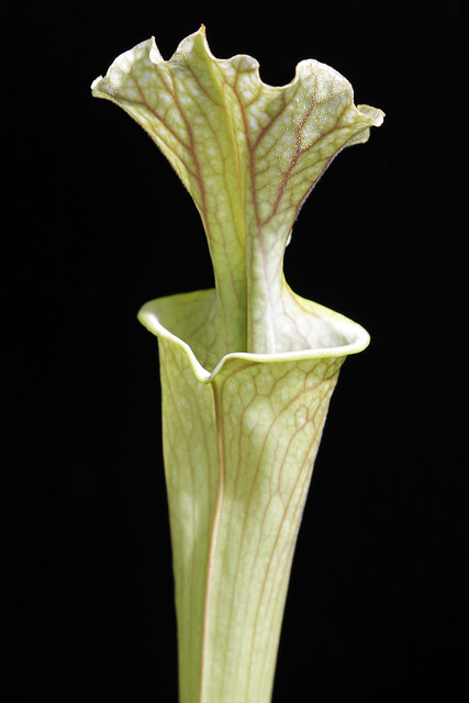 S. 'Reptilian Rose' x (flava v. rubricorpora x leucophylla)