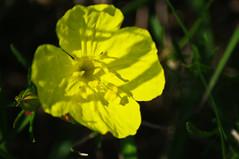 Primrose sp. (Oenothera sp.)