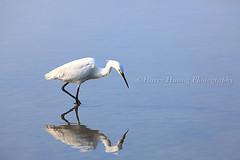 4_MG_0874---------- Bird, Taiwan (HarryTaiwan) Tags: bird taiwan                         harryhuang  hgf78354ms35hinetnet