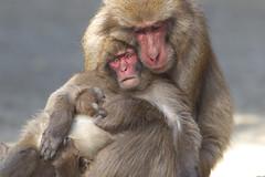 Hugging on his back (Masashi Mochida) Tags: male child coth supershot natureselegantshots awajimonkey