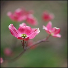 Dogwood Bokeh (Bettina Woolbright) Tags: pink plant flower tree zeiss 50mm spring bloom dogwood ze pinkdogwood zeiss50mm 5d2 bettinawoolbright