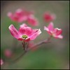 Dogwood Bokeh (Bettina Woolbright) Tags: pink plant flower tree zeiss 50mm spring bloom dogwood ze pinkdogwood zeiss50mm 5d2 bettinawoolbright