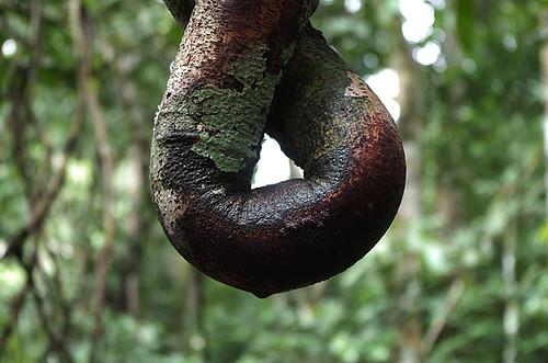 Expédition Sangha 2010 : lichen sur liane