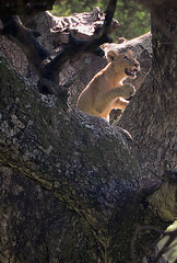 Tree Climbing Lion, Lake Manyara National Park