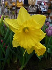 Chicago, Macy's Department Store, Yellow Daffodil (Mary Warren (7.1+ Million Views)) Tags: flowers nature yellow spring blossoms daffodil blooms macysdepartmentstore excellentsflowers mimamorflowers