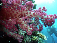 NOAA Ocean Explorer: Pacific Deep Reefs 2011 Exploration: Mission Summary (NOAA Ocean Explorer) Tags: ocean coral underwater pacific scuba exploration palau noaa rebreather biotechnology biodiversity marinelife oer underwaterphotos oceanexplorer technicaldiving oceanexploration noaaoceanexplorer oceanexplorergov deepcorals