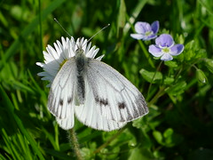 Rapsweißling Green-veined White (Aah-Yeah) Tags: white green butterfly bayern pieris achental veined napi chiemgau grassau schmetterlin tagfalter rapsweisling