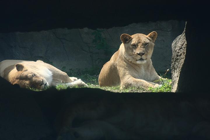 木柵動物園(獅子)016