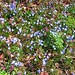 Hepatica carpet - #4