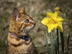 Cleo and the Daffodil (Kim Ledin) Tags: flower cute sunshine cat se feline sweden stockholm pot daffodil rest cleo bengal housecat katt tullinge kisse