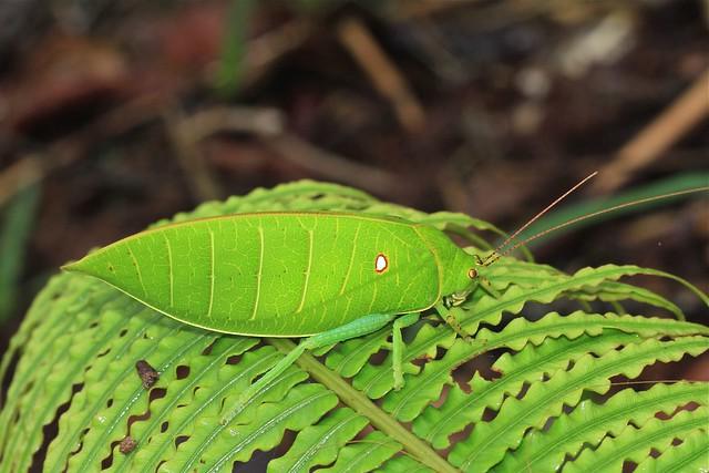 Cratioma cf. oculatum (Tettigoniidae: Pseudophyllinae)