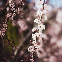 The Flowers (inspireer) Tags: flowers color tree square spring bokeh blossoms 50mmf14 tiltshift canon5dmarkii