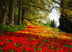 Colors of Spring (ceca67) Tags: flowers red art nature colors yellow photography photo spring nikon tulips fineart svetlana mainau tistheseason 2011 ceca coth colorphotoaward allxpressus saariysqualitypictures sbfmasterpiece pinnaclephotography sbfgrandmaster flickrstruereflectionlevel1