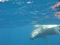 Humpback whales underwater (Sallyrango) Tags: swimming canon underwater dominicanrepublic snorkelling whales humpback whalewatching underwaterphotography cetaceans silverbank swimmingwithwhales babywhales whalesunderwater humpackwhales