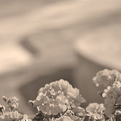 Curvy (Carrie McGann) Tags: sunlight sunshine square interesting curves cement lawn monochromatic urbannature geraniums peachy