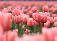 There is a garden in every childhood... ('Carmen' {catching up!}) Tags: flowers spring dof tulips bokeh depthoffield explore skagitvalleytulipfestival tulipfestival pinktulips tulipfields thankyouforyoursupport