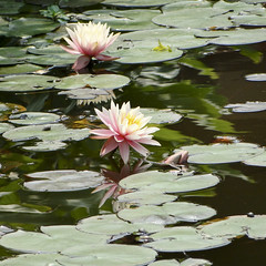 Water lily (ddsnet) Tags: travel plant flower flora waterlily sony taiwan cybershot international exposition taipei aquatic     aquaticplants        tetragona water  hx1  lily nymphaeatetragona    plants mygearandme taipeiinternationalfloraexposition flowerinjapan  aquatic nymphaea tetragona plantsnymphaea