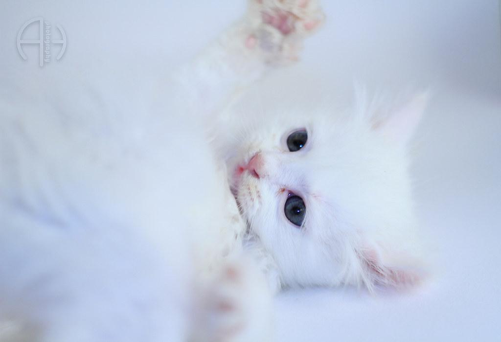 d186237b74 Persian white cat (aiman4ik) Tags  pink blue sleeping hairy dog pet cats  pets