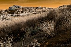 grass (gobo_x (marimba)) Tags: ocean sf sanfrancisco california beach landscape ir coast sand pentax dunes infrared modified 40mm limited botanicalgarden k7 fullspectrum bw099 invisiblelight smcpda40mmf28 ggnpc11