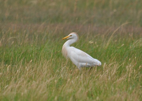 cattle egret 2