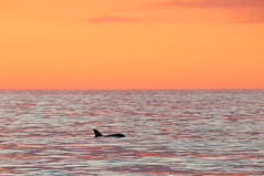 Sunset Swim (Mike McLaughlin Photo) Tags: dolphin sunset naples florida gulfofmexico