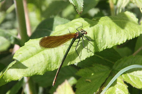 Mayflies - banded demoiselle