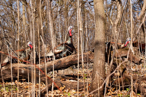 "Turkeys ""Hiking"" in Owen Conservation Park in Madison Wisconsin"