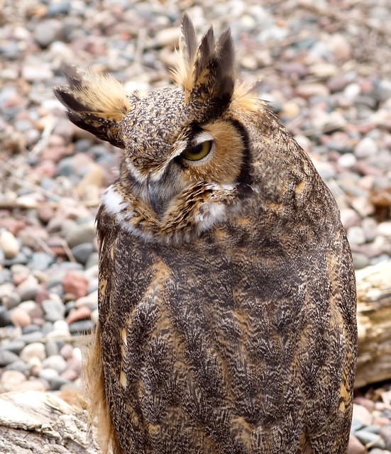 The resident Great Horned Owl at Elm Creek Park Reserve.