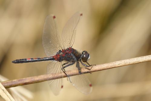 Ruby Whiteface, Leucorrhinia rubicunda, male