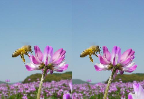 Apis mellifera, stereo parallel view