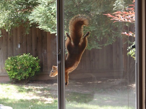 1red squirrel christina frederickson livermore