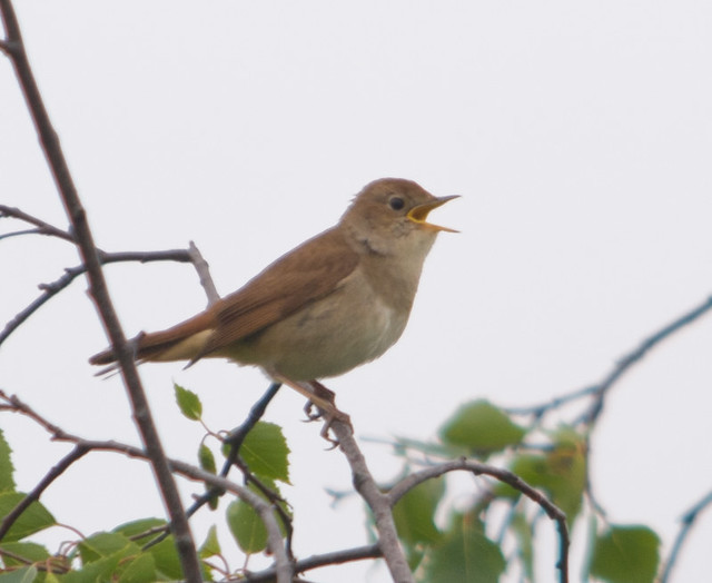 nightingale 2
