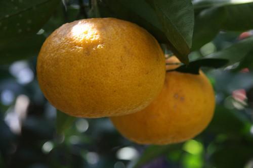 みずみずしい~ / Citrus natsudaidai