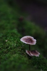 Midnight In The Garden... (Just Emi) Tags: brown green nature mushroom forest nationalpark moss dof bokeh fungus tasmania funghi mtfield