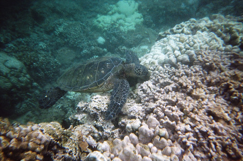 Sea Turtle at Honokeana Bay (2)