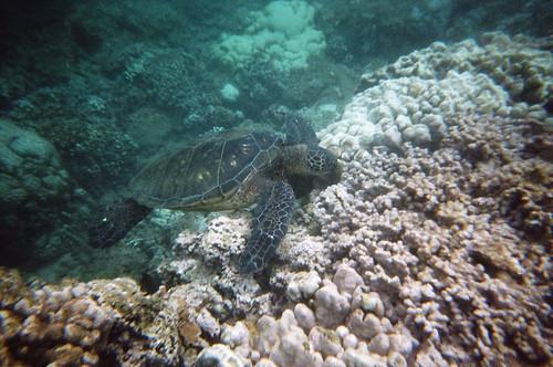 Sea Turtle at Honokeana Bay (2)