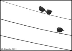 2+1=3 (JKmedia) Tags: urban bw nature birds blackwhite wire telephone cable diagonal simplicity mathematics minimalism adding maths counting avian starlings feathered numeracy canoneos40d 15challengeswinner fabcap jkmedia pregamesweepwinner