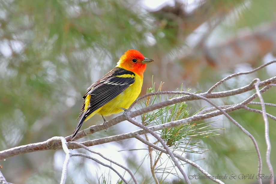 Western Tanager 05211111-5