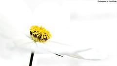 . (Timo Klinge) Tags: auto white macro netherlands yellow photography dc nikon nederland sigma automotive 1770 geel wit timo macrophotography lisse 2011 klinge hsm d80 f2845