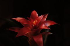 [フリー画像] 花・植物, グズマニア・リングラタ, 赤色の花, 201105301700