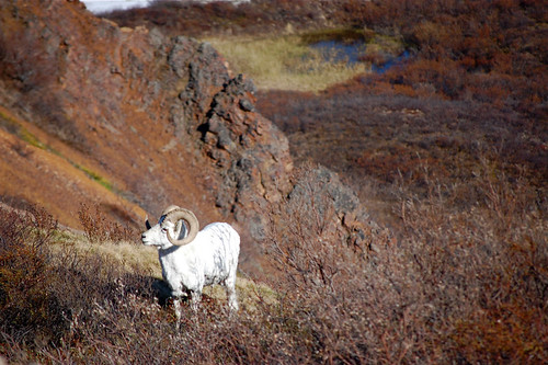 dahl sheep in denali