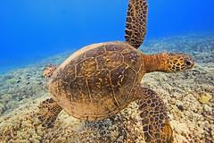 green sea turtle (bluewavechris) Tags: ocean life blue sea brown green nature water animal swim hawaii marine underwater snorkel turtle reptile wildlife dive shell maui creature flipper