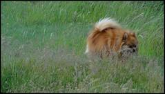 le chien des steppes