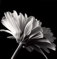 Margarita (pablofersu) Tags: bw flores flower blakandwhite blancoynegro kodaktmax100 dektol orientalseagull