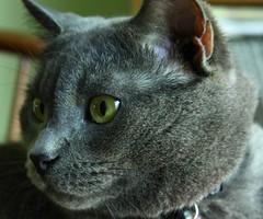 Mica (momcat14c) Tags: blue pet june cat canon eos rebel grey spring chat kitty gato mica graycat 500d 2011 rescuedpet t1i micabear