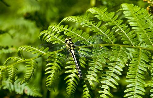 Gomphus vulgatissimus / libélula vulgar / Common Club-tail    (Linnaeus, 1758) by Macrodomo
