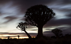 moving sunrise (HJT van Os) Tags: africa longexposure morning silhouette sunrise namibia quivertree movingclouds aloedichotoma quivertreeforest